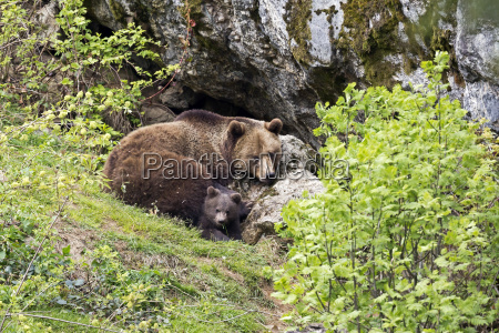 brown bear ursus arctos mother animal