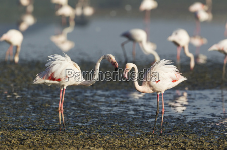 greater flamingo phoenicopterus roseus the erected