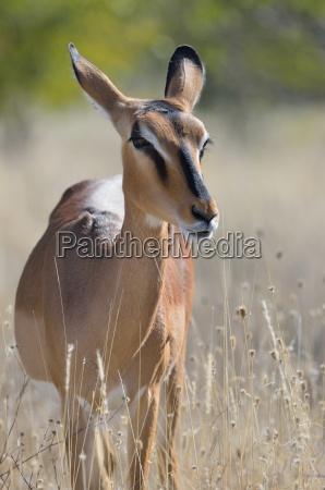 black faced impala aepyceros melampus petersiadult