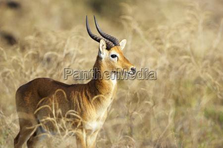 puku kobus vardonii maennliches tier south