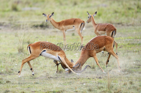 impalablack heel antelopeaepyceros melampusfighting malesbehind female