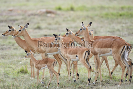 impala black heel antelope aepyceros melampus