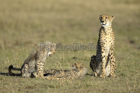 cheetah acinonyx jubatus female with young