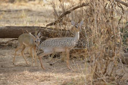 kirk dikdik madoqua kirkii small antelope