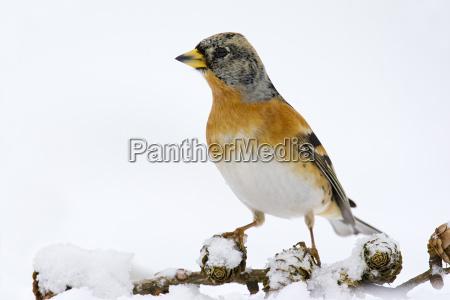bergfink fringilla montifringilla