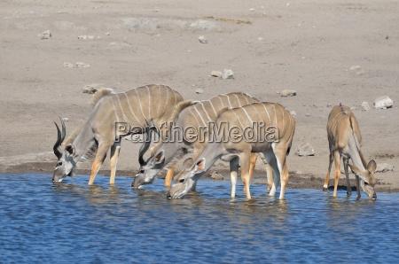 greater kudus tragelaphus strepciceros males female