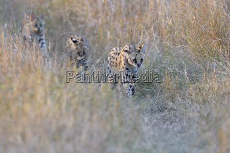 serval family leptailurus serval serval female