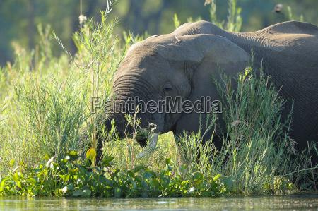 afrikanischer elefant loxodonta africana african bush