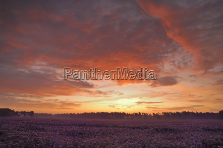 field with tuft beautiful phacelia tanacetifolia