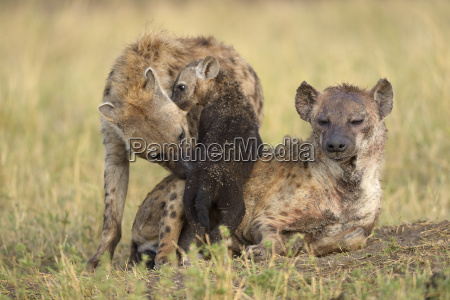 spotted hyenas crocuta crocuta female with