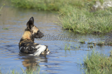 african wild dog lycaon pictus cub