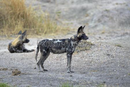 afrikanischer wildhund lycaon pictus weibchen leittier