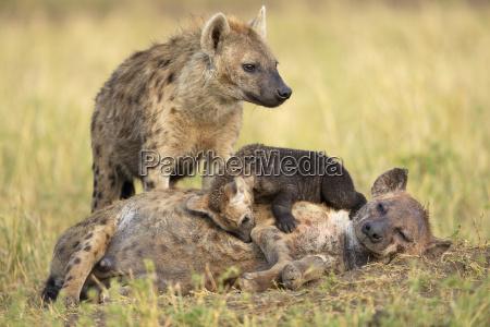 spotted hyenas crocuta crocuta females with