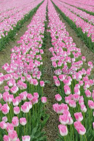 tulpenanbau tulpenfeld mit weiss rosa tulpen