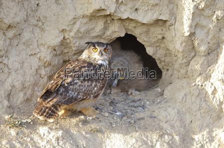 eagle owl bubo bubo female common