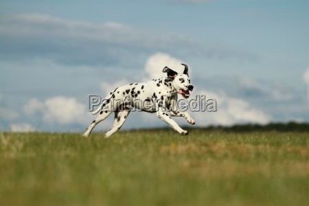 dalmatiner mit blauem auge lauft