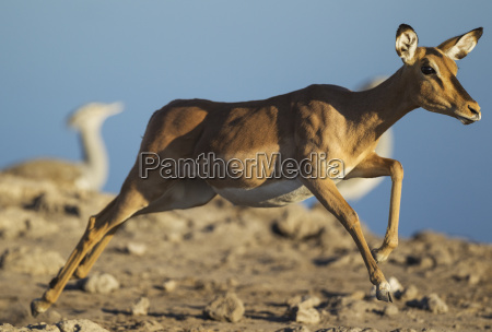 black faced impala aepyceros melampus petersirunning