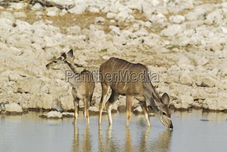 greater kudu tragelaphus strepsiceros female with