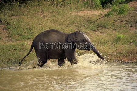 asiatischerelefants19016jpg