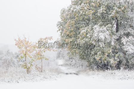 fruher wintereinbruch laubbaume mit herbstfarbung