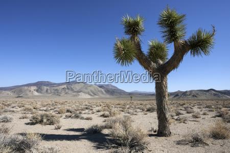 josua palmlilie auch joshua tree