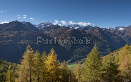 yellow larch larix decidua autumnal mountain