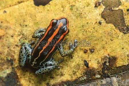 neotropischer pfeilgiftfrosch ranitomeya ventrimiculata familie der