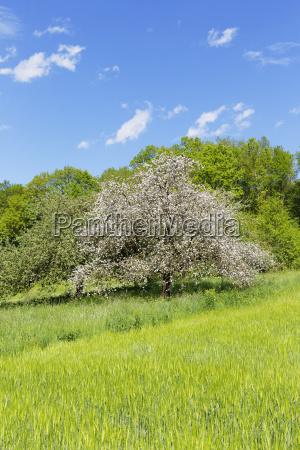 blooming apple tree on the maintriefensteinspessartmain