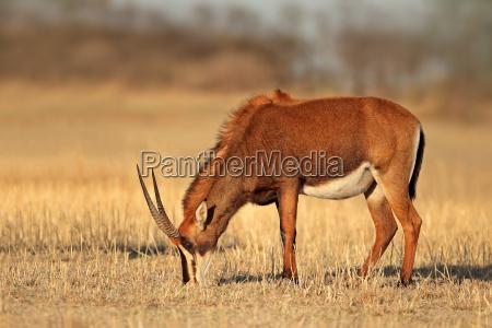 weibliche sable antilope
