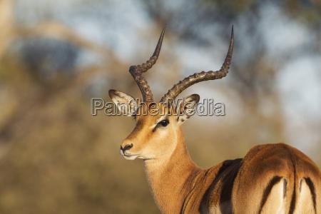 impala aepyceros melampus male okavango delta