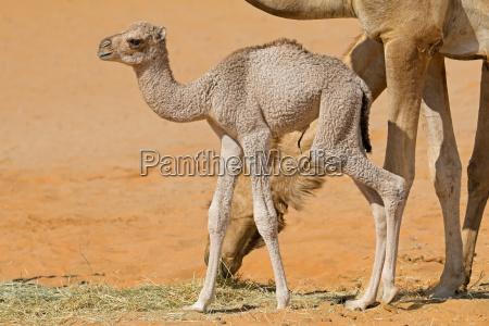 neugeborenes kamelkalb