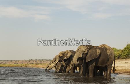 african elephant loxodonta africana breeding herd