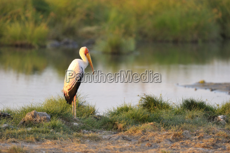 nimmerly mycteria ibis stands at the