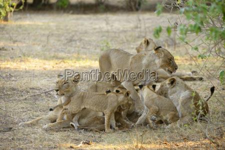 loewen panhera leo weibchen mit jungtieren