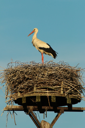weissstorch ciconia ciconia