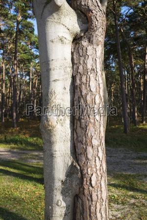 2 overgrown trees of european beech