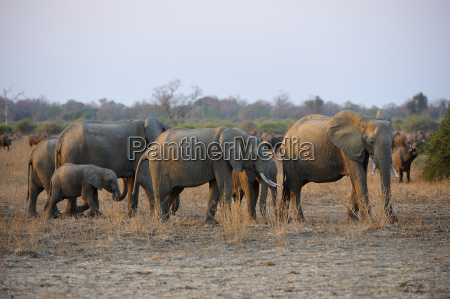 afrikanische elefanten loxodonta africana familie im