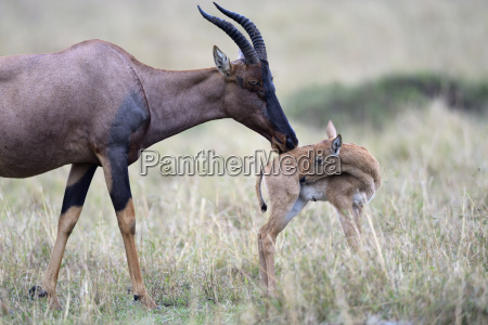 topi jimela serengeti topi damaliscus jimela
