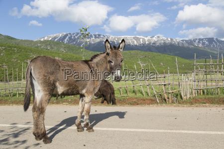 esel equus africanus asinus mit gefesselten