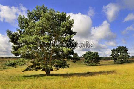 westruper heide nature reserve with broom