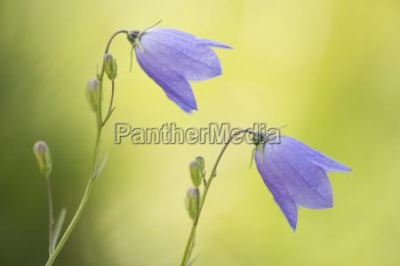 rundblattrige glockenblume campanula rotundifolia vogesen