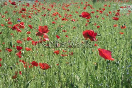 poppy papaver rhoeas on meadow emsland