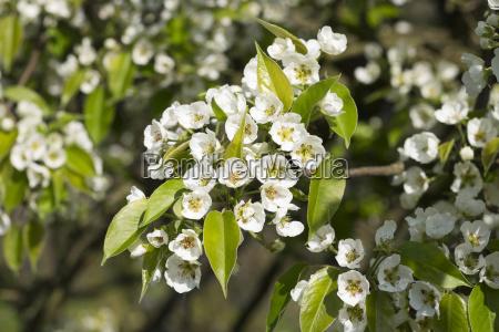 bluehender birnbaum kultur birne pyrus communis
