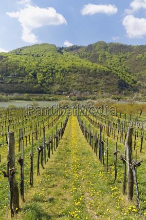 vineyards in spring oberarnsdorf wachau lower