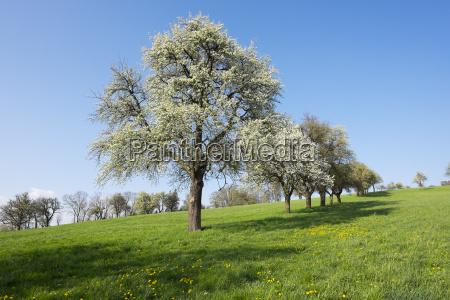 flowering pear trees pear pyrus communis