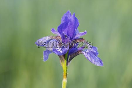 siberian iris iris sibirica grabenstaett chiemgau