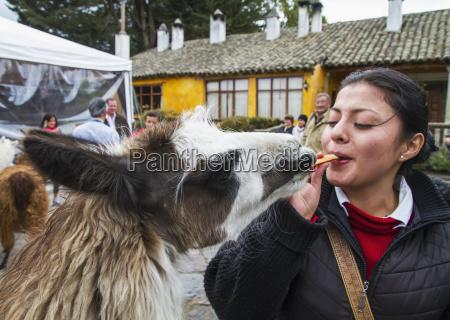 woman feeding llamas in the courtyard