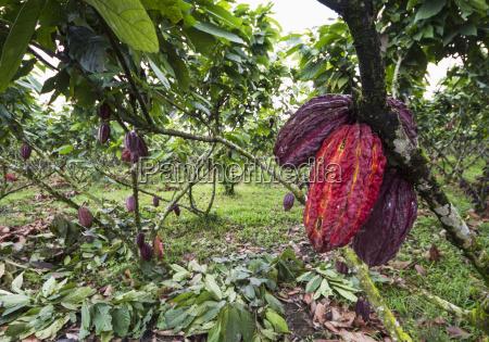 cocoa pods on trees theobroma cacao