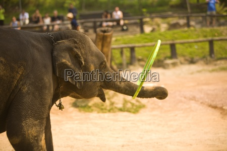 chiang maithailandelephant playing with a hula