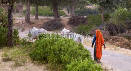 woman walking behind three horned brahman